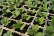 mudas de rúcula cultivada